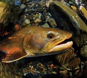 bull_trout_closeup_lg